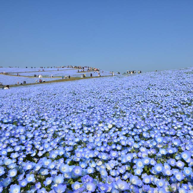 ネモフィラ、チューリップなどが次々見頃に!国営ひたち海浜公園の「Flowering 2019」で、青い花と空と海のコラボにうっとり