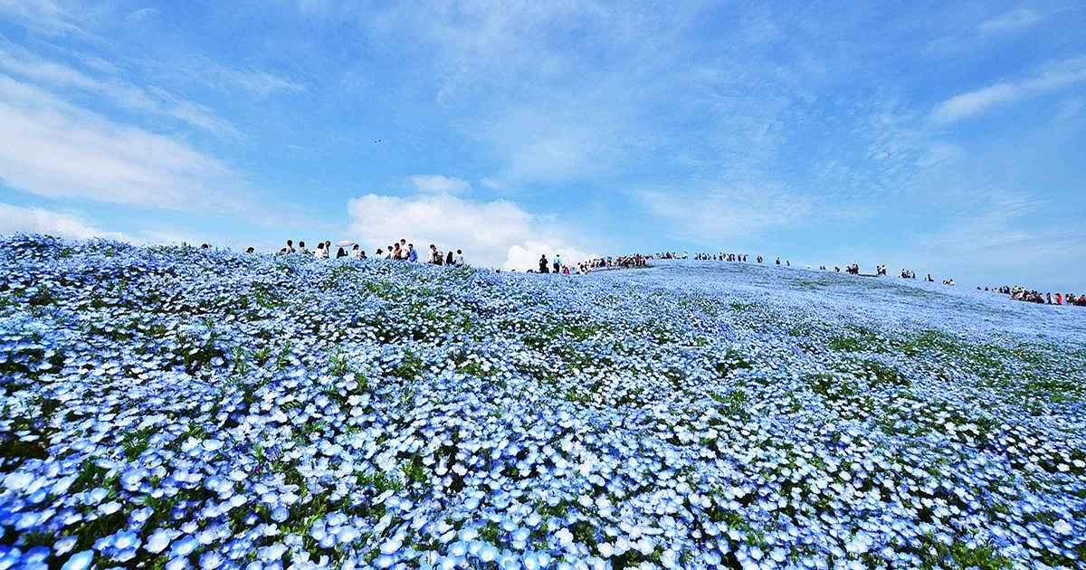 ひたち 海浜 公園 ネモフィラ 2020