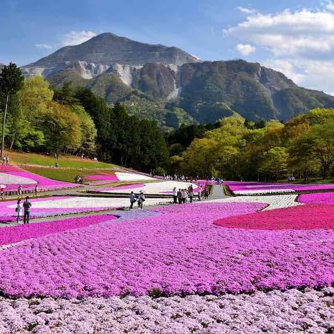 """40万株もの芝桜が描く""""花のパッチワーク""""!今年のGWは、丘一面に広がる芝桜の絨毯を見に、秩父の羊山公園「芝桜まつり」へ"""