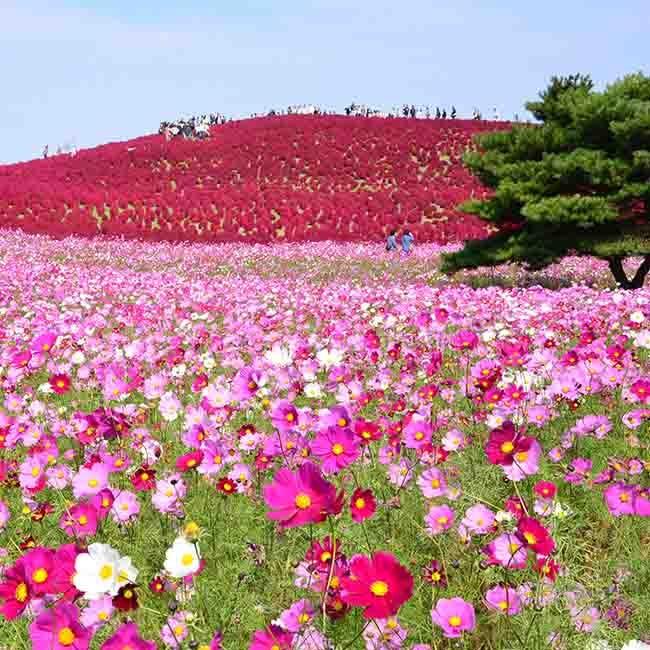 【東京近郊のコスモス畑6選】秋空とコスモスのコントラストに感動! 秋のお散歩におすすめなコスモススポットまとめ【2020最新】