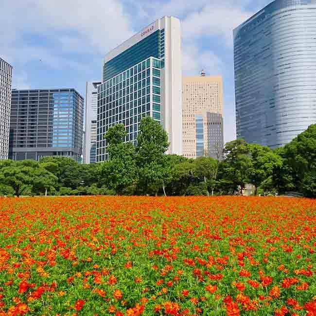 高層ビルをバックに咲く30万本のコスモスに癒される。歴代将軍も愛した「浜離宮恩賜庭園」で、江戸情緒を感じる花散歩