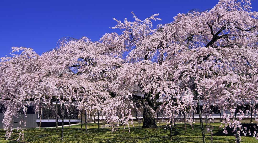 桜名所の穴場でのんびり。春の京都は山科・醍醐へ