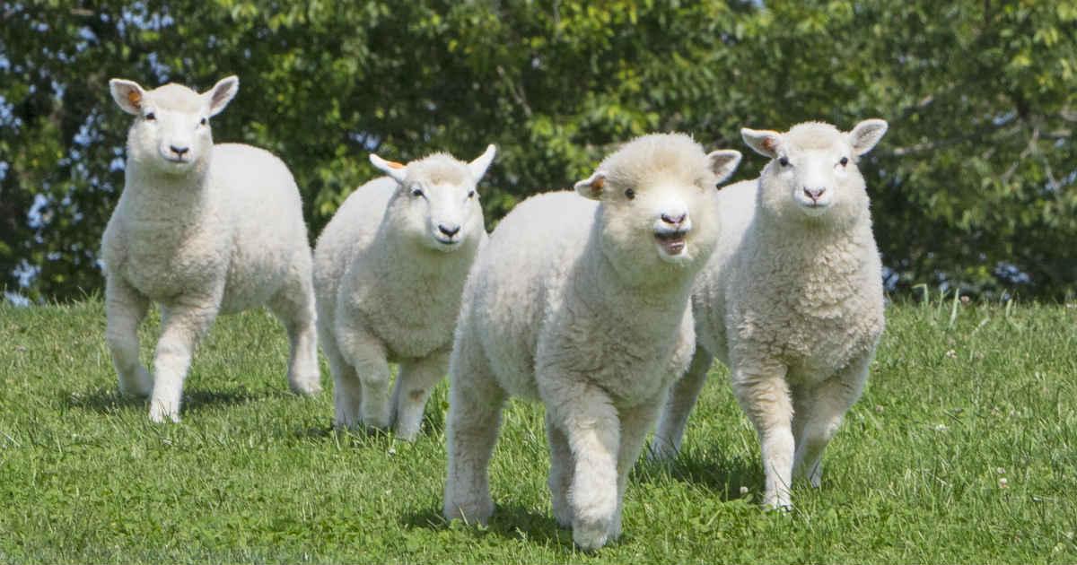 かわいい赤ちゃん羊がたくさん!マザー牧場で2/9(土)~5/26(日)に ...