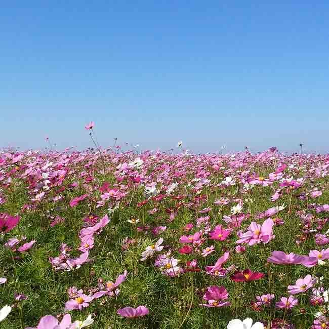 相模湾を臨む丘に2万本のコスモス!神奈川・長井海の手公園ソレイユの丘で秋の散歩を楽しんで