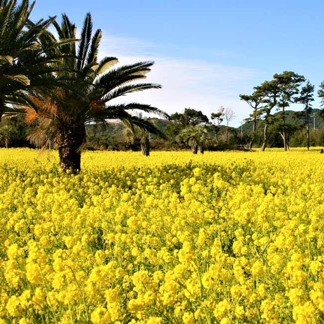 1200万本の菜の花が彩る景色は圧巻! 3月31日(火)まで「渥美半島菜の花まつり2020」が開催