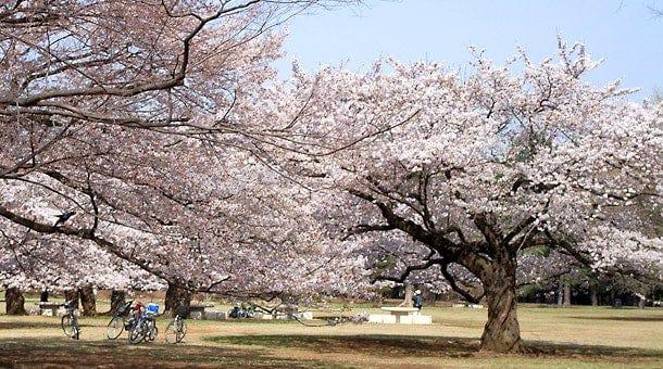 光が丘公園 東京の花見スポット 2018 - OZmall