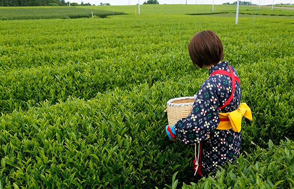 「グリンピア牧之原 「お茶摘み体験」」の画像検索結果